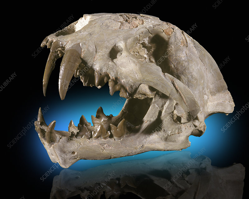 False Sabertooth Cat Skull