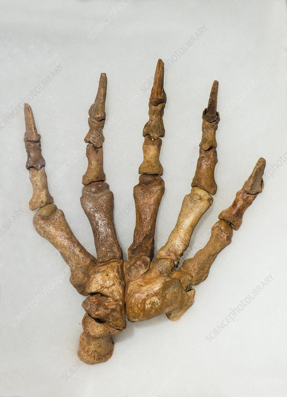 Cave Bear Front Foot Fossil