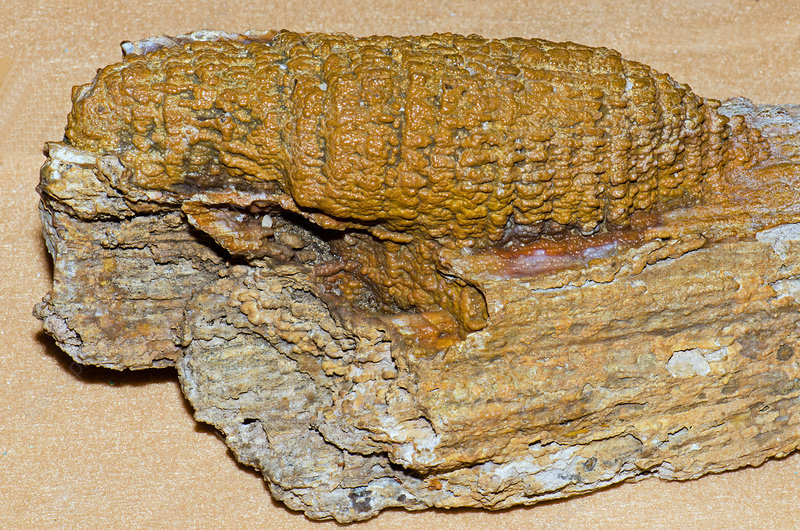 Fossil Agatized Coral On Petrified Wood