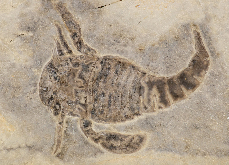 Sea Scorpion Fossil