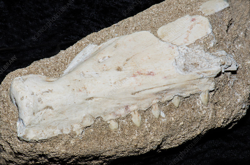 Barracuda Jaw Fossil