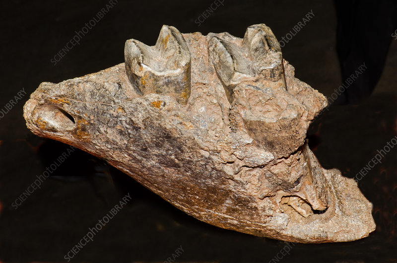 Giant Sloth Jaw Fossil