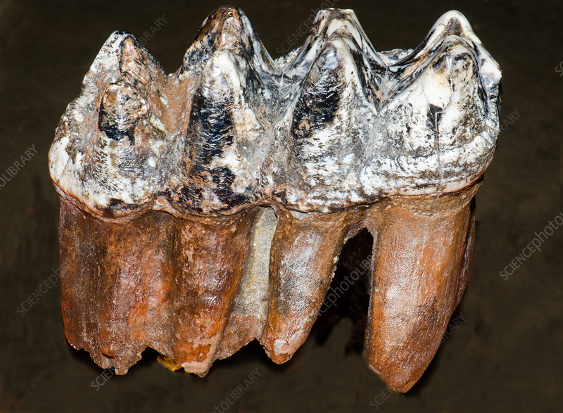 Mastodon Teeth Fossil