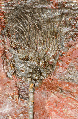 Crinoid Sea Lily Fossil