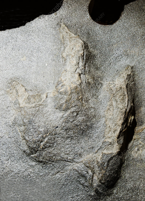 Theropod Dinosaur Footprint