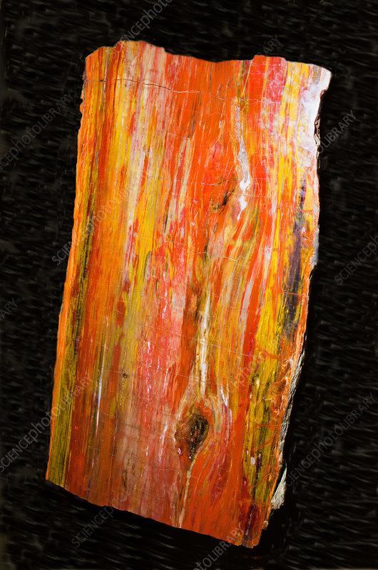 Petrified Wood Tree Trunk Section