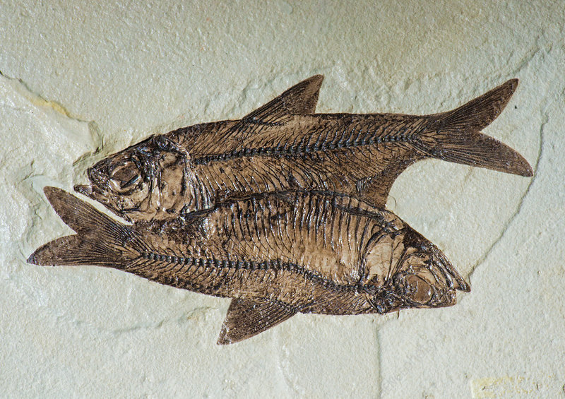Fishes Fossil
