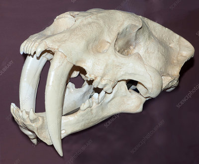 Skull of a Now Extinct Sabertooth Cat