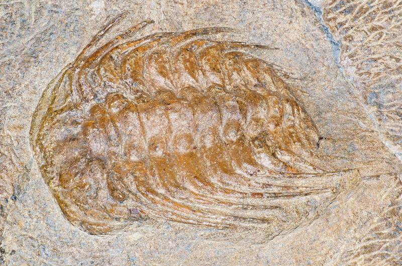 Giant Spiny Trilobite Fossil