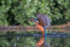 Common kingfisher catching a fish
