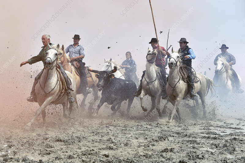 Camargue cowboys and bull, France