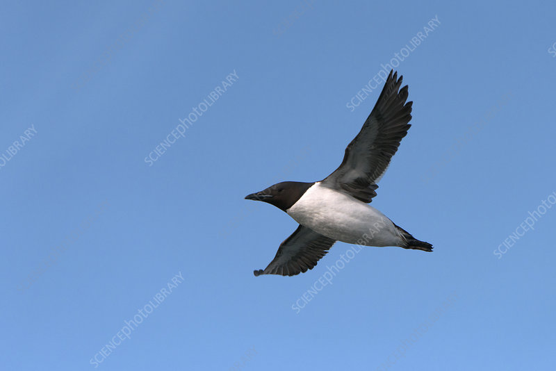 Brunnich's guillemot in flight