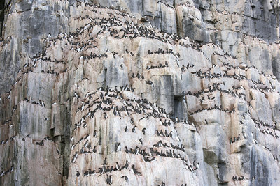 Brunnich's guillemot colony