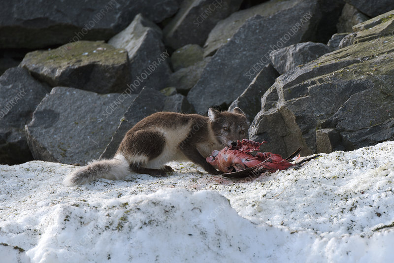Arctic fox feeding on a seabird