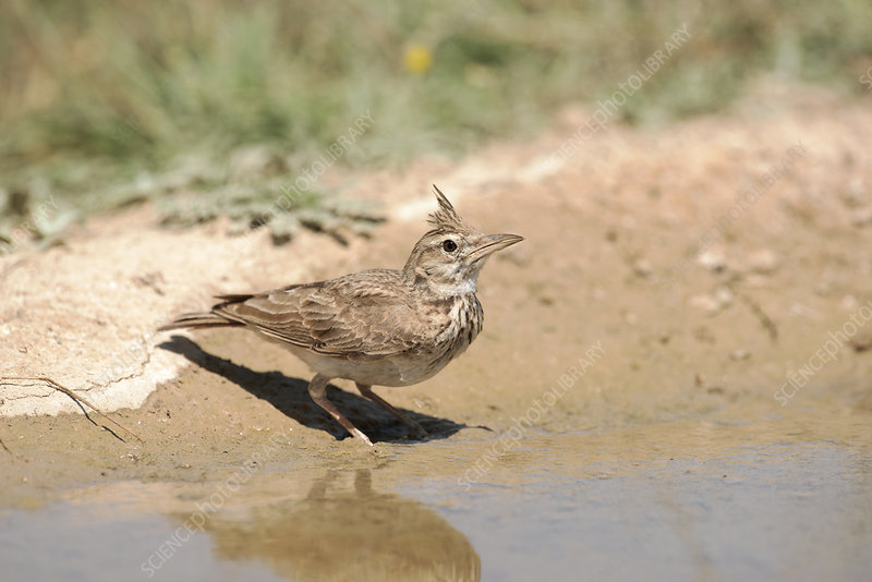 Crested lark drinking water