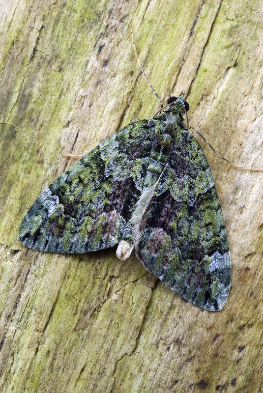 Red-green carpet moth