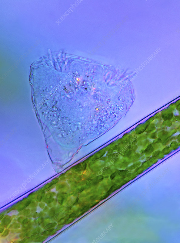 Protozoan on green algae, micrograph