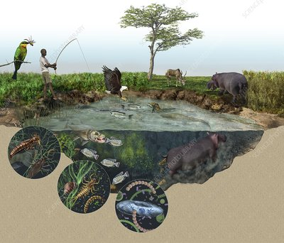 Hippopotamus ecological impact, artwork