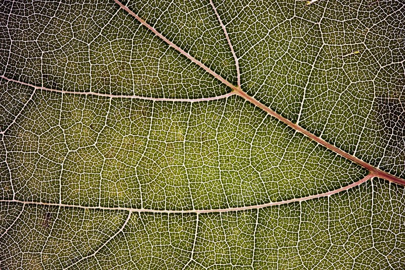 Vine leaf venation