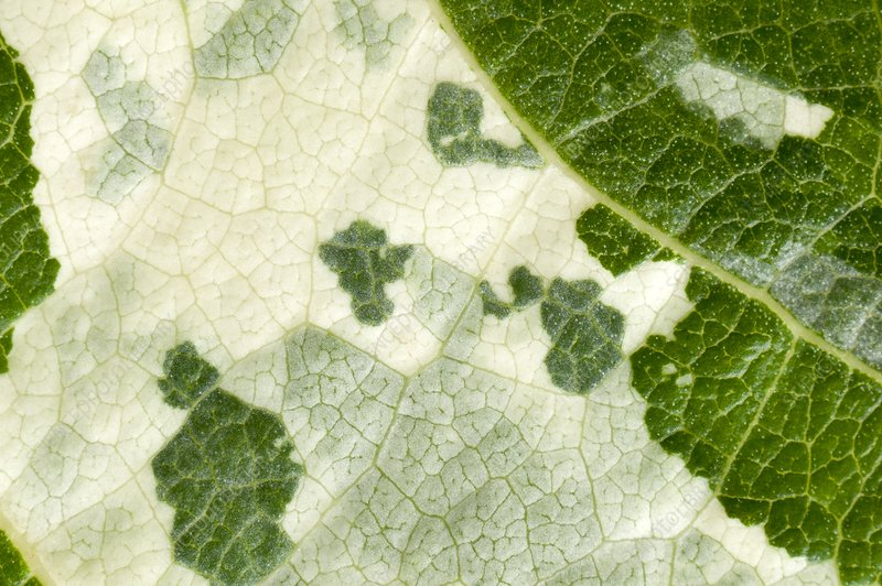 Variegated leaf of Poplar 'Aurora'
