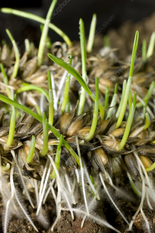 Sprouting of lodged wheat