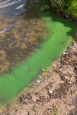 Cyanobacteria on a eutrophic lake shore