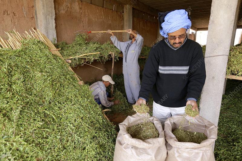 Henna Farming Morocco Stock Image C028 6737 Science Photo Library