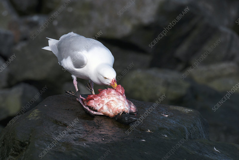 Glaucous gull feeding on a seabird