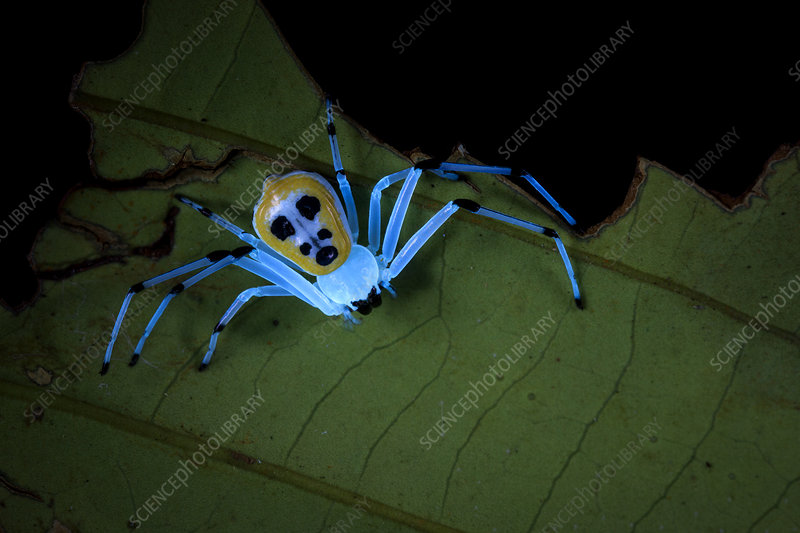 Crab spider under UV light