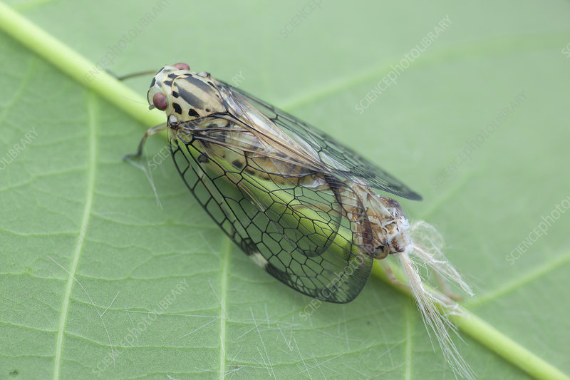 Net-winged planthopper moulting
