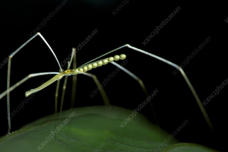 Daddy long-legs spider
