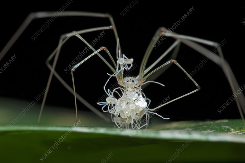 Daddy long-legs spider with spiderlings