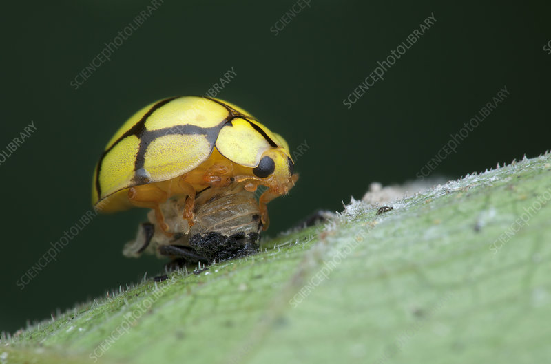 Ladybird moulting