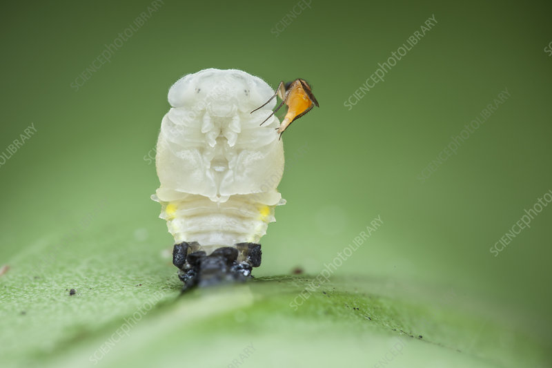 Ladybird larva and parasitic phorid fly