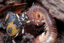 Assassin bug eating millipede