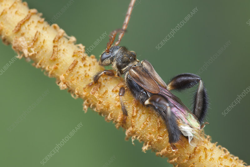 Stingless bee-mimicking longhorn beetle