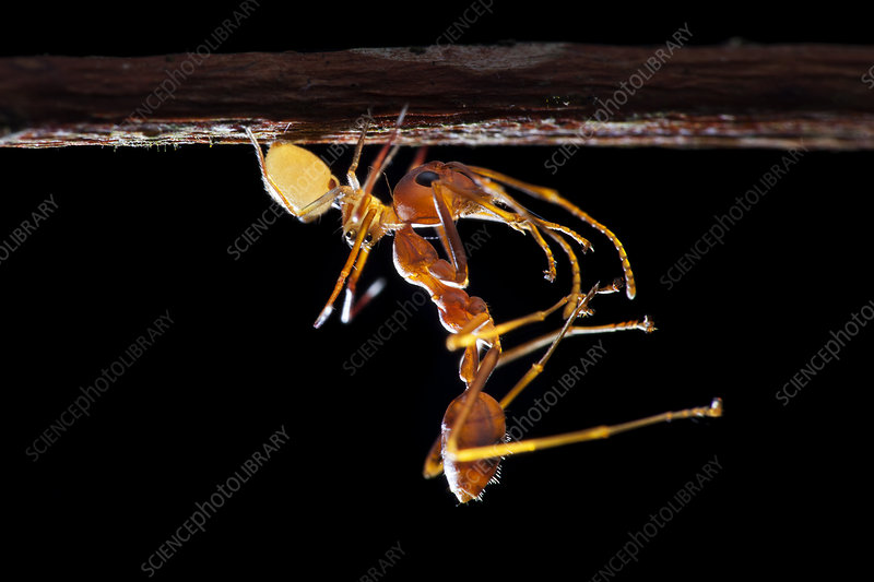 Ant-mimic crab spider with prey
