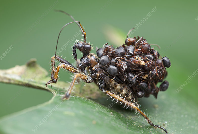 Assassin bug nymph with ants