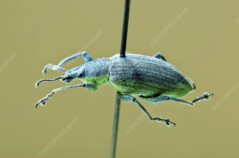 Yellow-banded leaf weevil