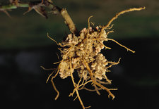 Pea Root Nodules