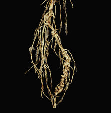 Bean Root Nodules