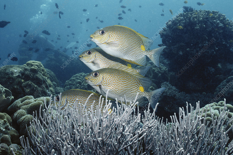 Goldlined Rabbitfish