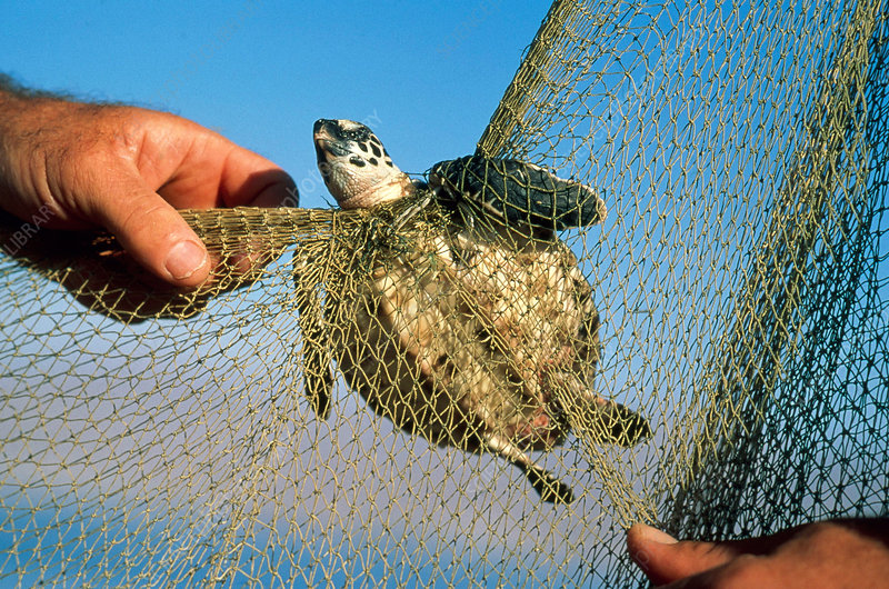Turtle Caught in Net