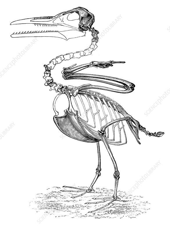 Hesperornis, Cretaceous Flightless Bird