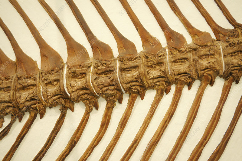 Fossil Fish backbone