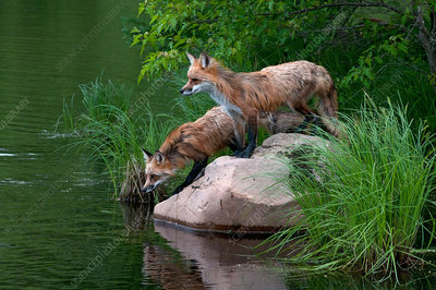Red foxes at pond edge