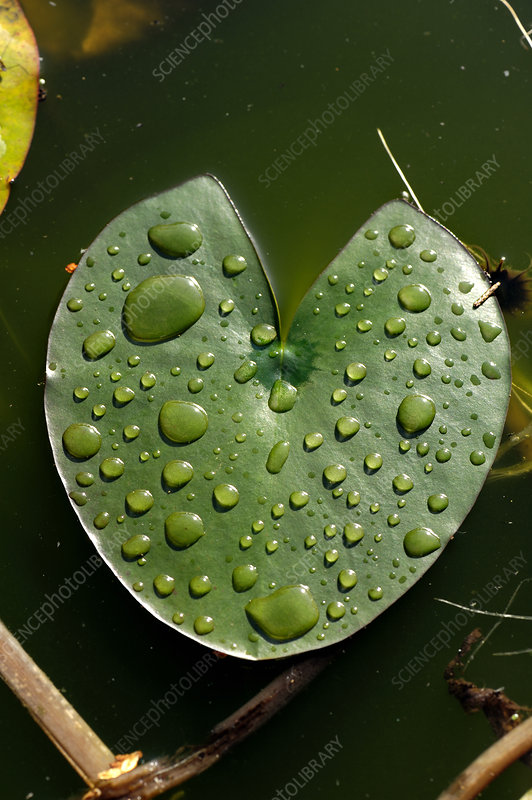 Water Lily Pad with Water drops