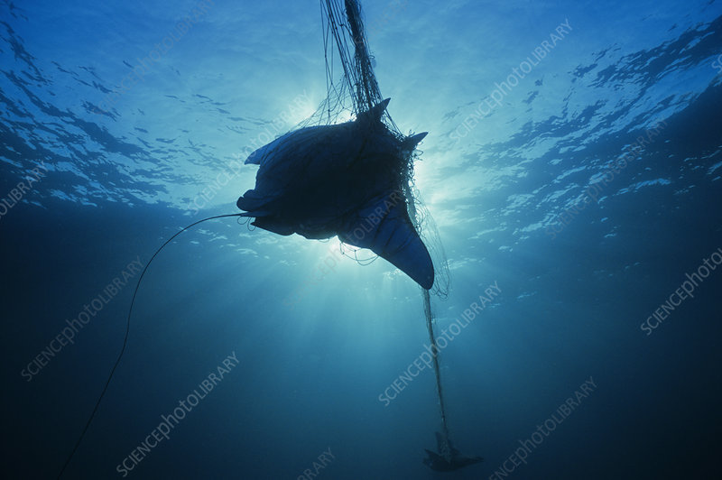 Manta Ray Caught In Gill Net