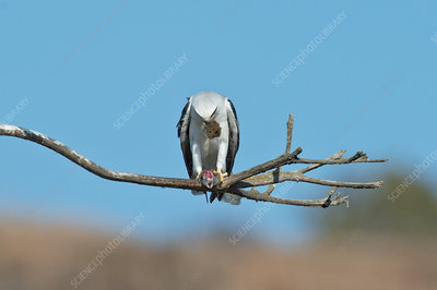 White-tailed Kite eats vole