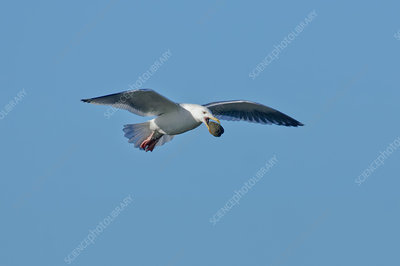 Glaucous-winged Gull with clam